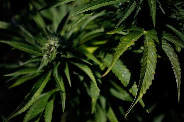 Óscar López frena proyecto que permite uso de cannabis con fines medicinales