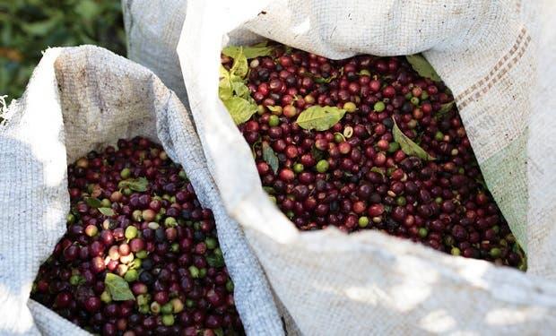 Cosecha de café disminuiría un 12,5%