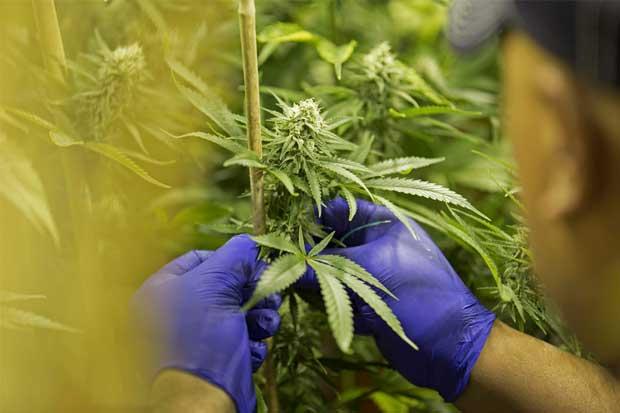 Ganancias por marihuana en Estados Unidos superaron los $5 mil millones en 2016