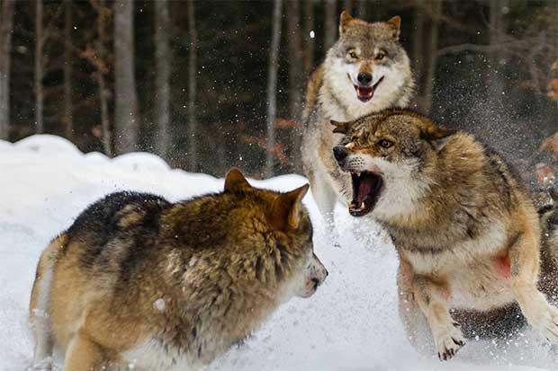 """""""El Club de la pelea animal"""" regresa este sábado"""