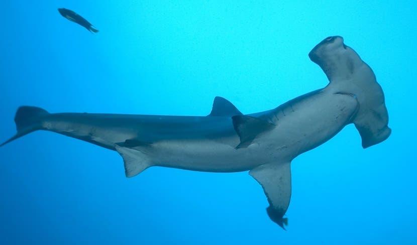 Sector pesquero pide modificar regulaciones para comerciar tiburones