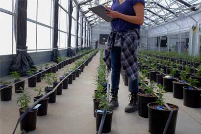 Caída de precios de cannabis obliga a bajar costos de producción en Estados Unidos
