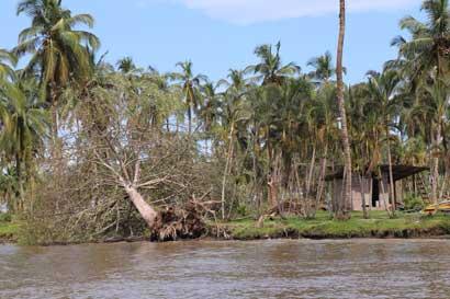 Sinac tramita 102 solicitudes para aprovechar árboles caídos en huracán