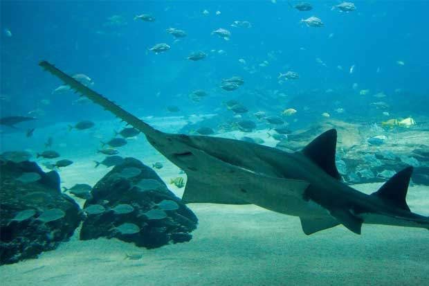 UCR begins campaign to save the sawfish.