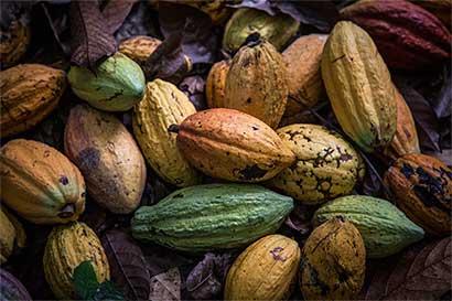 Agricultores podrían volver a la coca por bajo precio del cacao