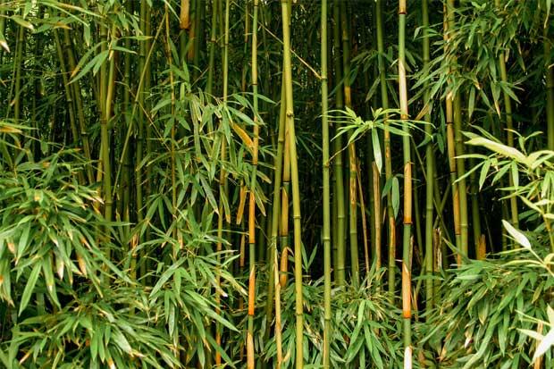 Impulsan producción de bambú en el país
