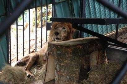Animalistas en contra de posible eutanasia de Kivú hasta conocer diagnóstico de expertos