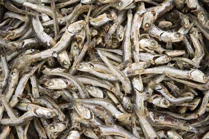 UNA descarta marea roja como causa de muerte de anchovetas en Nicoya
