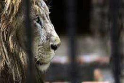 Muere león Kivú