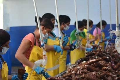 Comercializadora Caribeña exporta yuca pelada y congelada a EE.UU. y Puerto Rico