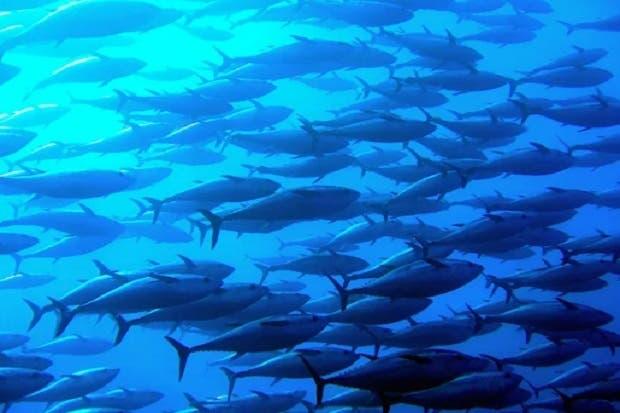Incopesca limita temporalmente licencias para pesca de atún