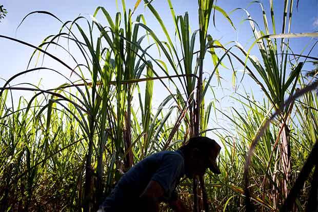 Jamaica reduciría dependencia de azúcar con ron y biocombustible