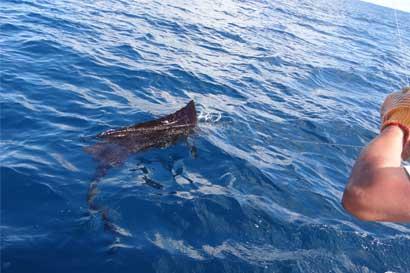 Fecop busca proteger al marlín y pez vela de la pesca comercial