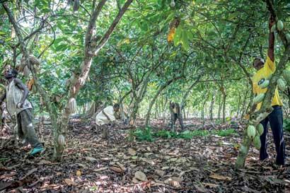Mayor productor mundial de cacao se prepara para cosecha récord