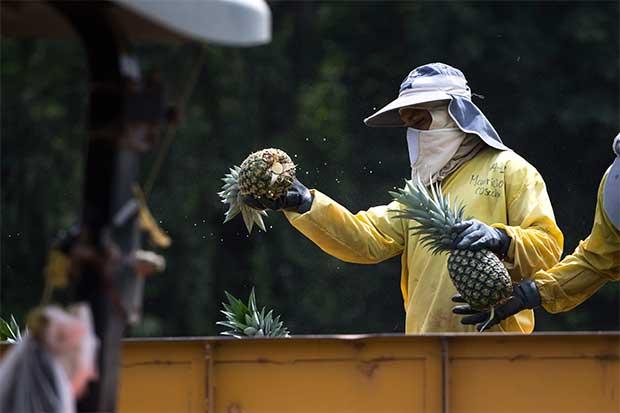 Panamá buscaría imitar modelo exportador de piña tica