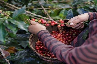 Dos publicaciones muestran el panorama regional de la caficultura y el cacao