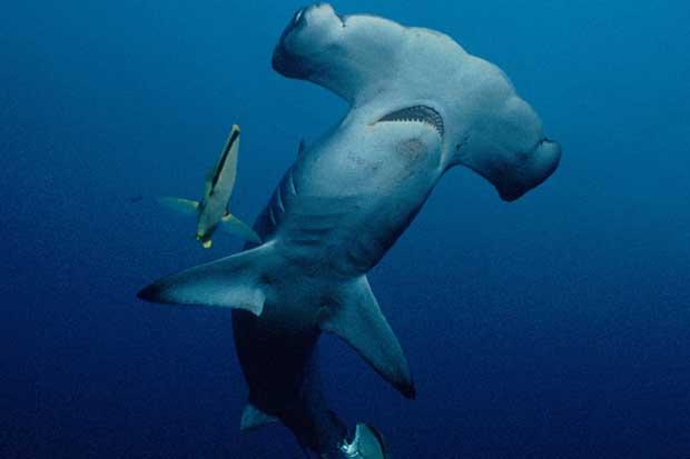 Incopesca será quien decida sobre exportación de tiburones