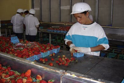 Crean programa de investigación y tecnología agropecuaria para cultivo de fresa