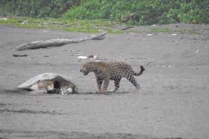 Parque Tortuguero cierra sector de uso público para proteger al jaguar