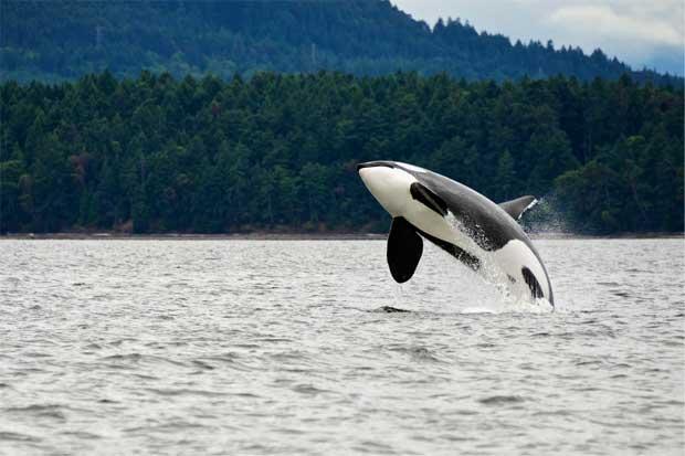 Kayak entre ballenas asesinas, una nueva experiencia de viaje