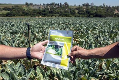 Syngenta enfrenta a productores por maíz transgénico