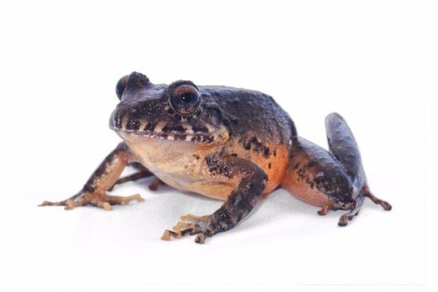 Costa Rica rescata especie de rana que se consideraba extinta