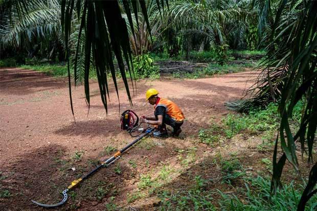 Se busca un cuchillo mejor para plantaciones de palma aceitera