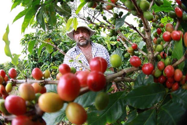 Caficultores cuentan con plantas más resistentes
