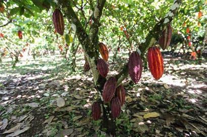 Congreso Nacional de Cacao se celebrará mañana