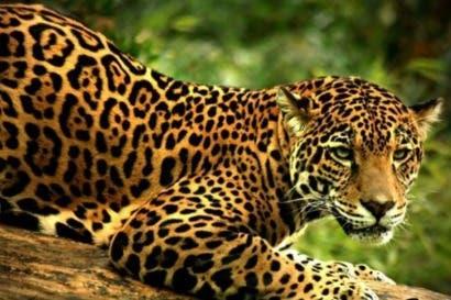 Buscan proteger y estudiar al jaguar por medio de convenio institucional
