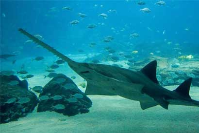 Proponen proyecto para proteger al pez sierra