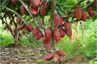 Modelo de producción busca buenas prácticas en cultivo de cacao