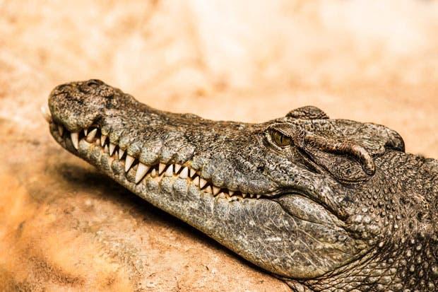 Exigen a Sinac y Minae un estudio sobre población de cocodrilos