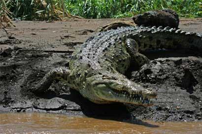 """Sinac: """"Aún no hay un estudio que determine sobrepoblación de cocodrilos"""""""