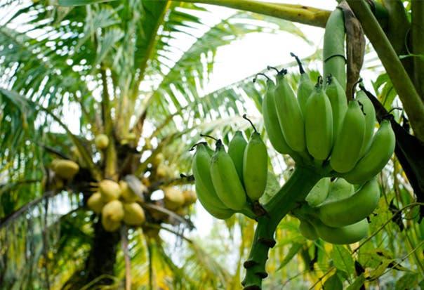 Nuevos dispositivos facilitarán detección de enfermedades en banano y café