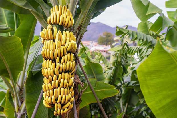 Corbana organiza congreso internacional sobre banano