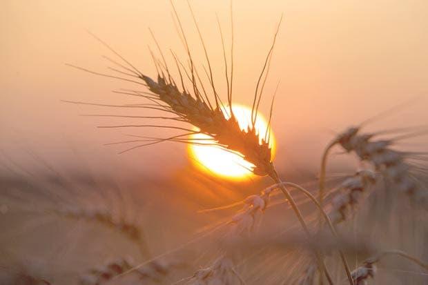 Sequía perjudica parte de la cosecha de trigo de Canadá