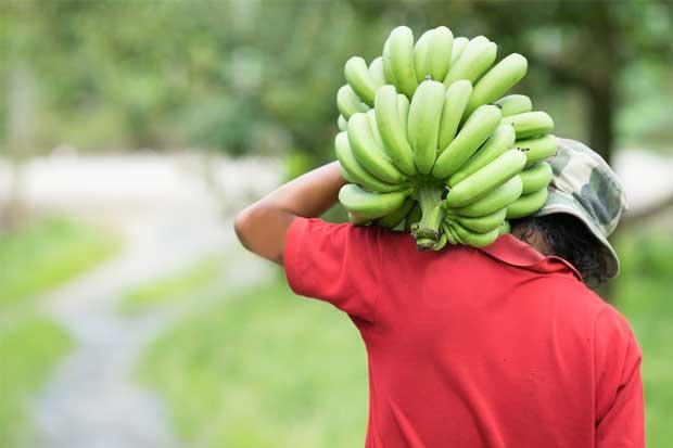 Unión Europea liberará importación de banano en el 2020