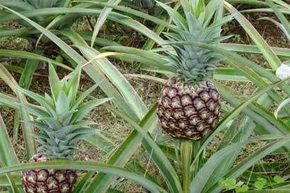 Diputada urge legislación para regular cultivos de piña