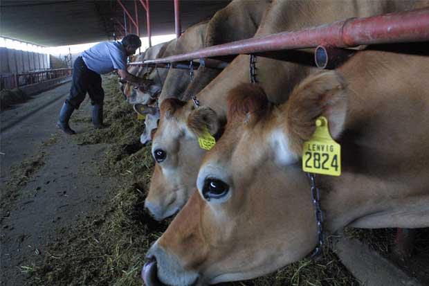 Lluvias provocarían una caída del 25% en producción lechera