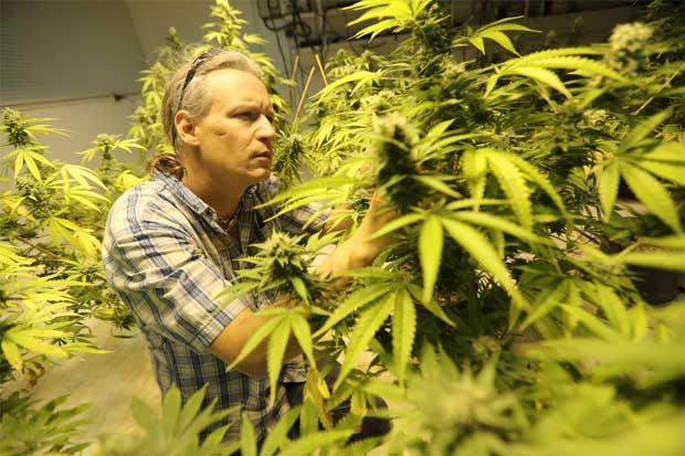 Una universidad de Michigan ofrece carrera en marihuana