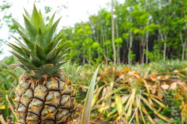 Productores exigen acciones por falsa piña orgánica de exportación