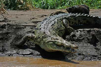 TEC realiza investigación para entender mejor a los cocodrilos ticos