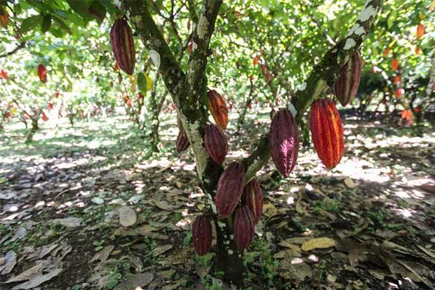 Cacao tico gana terreno entre los mejores del mundo
