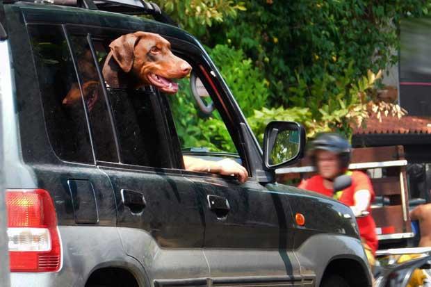 Tránsito advierte que las mascotas no pueden viajar en el asiento de conductor