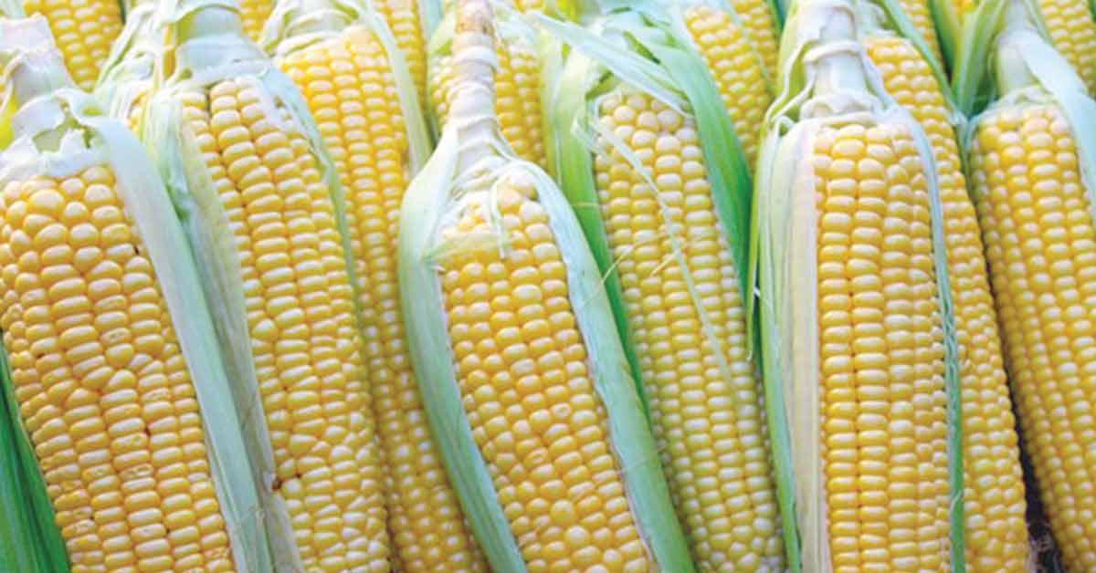 Importaciones de maíz brasileño crecerán un 26% en Europa