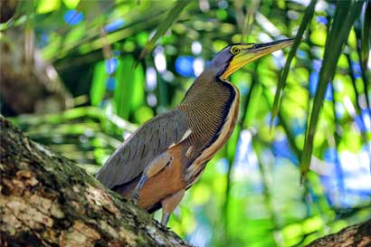 En Caño Negro se pueden ver hasta 243 especies de aves en un día