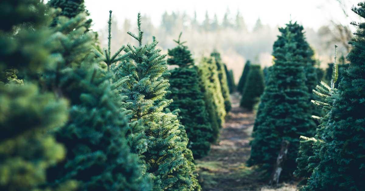 Municipalidades recolectarán árboles de Navidad para reciclaje