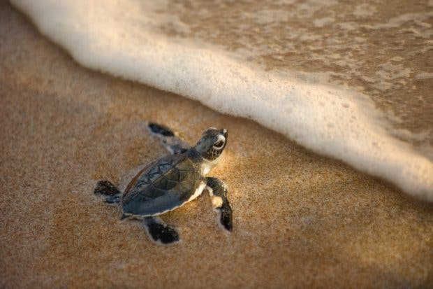 Minae busca voluntarios para ayudar a tortugas marinas