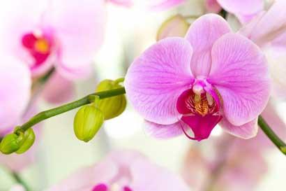 Más de 1.500 orquídeas estarán en exhibición este fin de semana